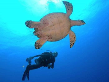 Belize Hamanasi Turtle and Diver