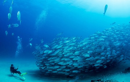 Cabo Pulmo School of Jacks + Diver